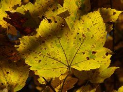 autumn leaves of mountain maple