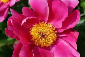 peony with pink petals and yellow center