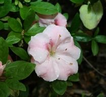 Azalea is an ornamental shrub