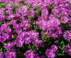 ice plant purple