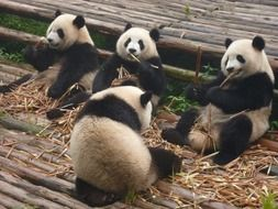 giant pandas are sitting on the ground