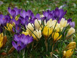 colored crocuses in the green grass
