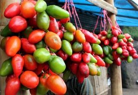hanging tomatoes on ropes