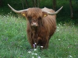 highland beef scotland cow