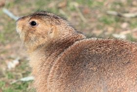 black-tailed prairie dog in the wild
