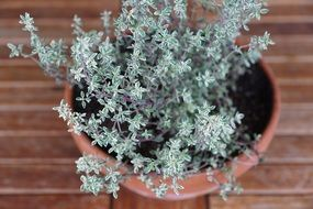 thyme herbs spice plant in pot