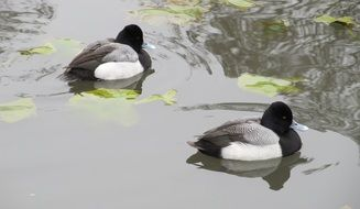 black and white ducks swim in the pond
