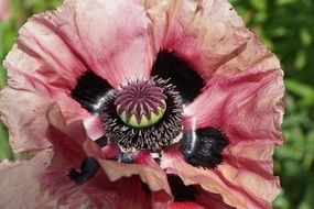 wonderful pink poppy flower