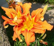 orange lily bloom in the park