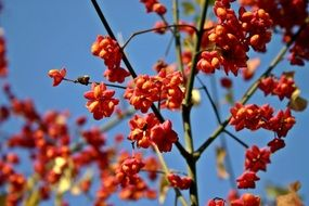 euonymus is bright ornamental shrub