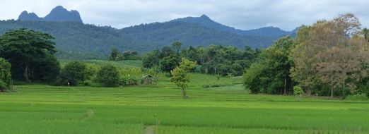 Landscape with rice in Thailand