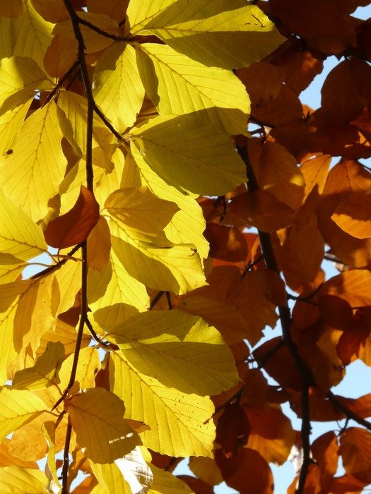 Different beech leaves in the sunlight