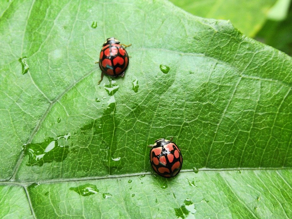 two tropical ladybugs on a green leaf