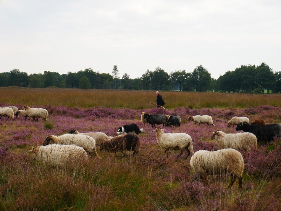 a flock of sheep and a shepherd in a pasture in Heide