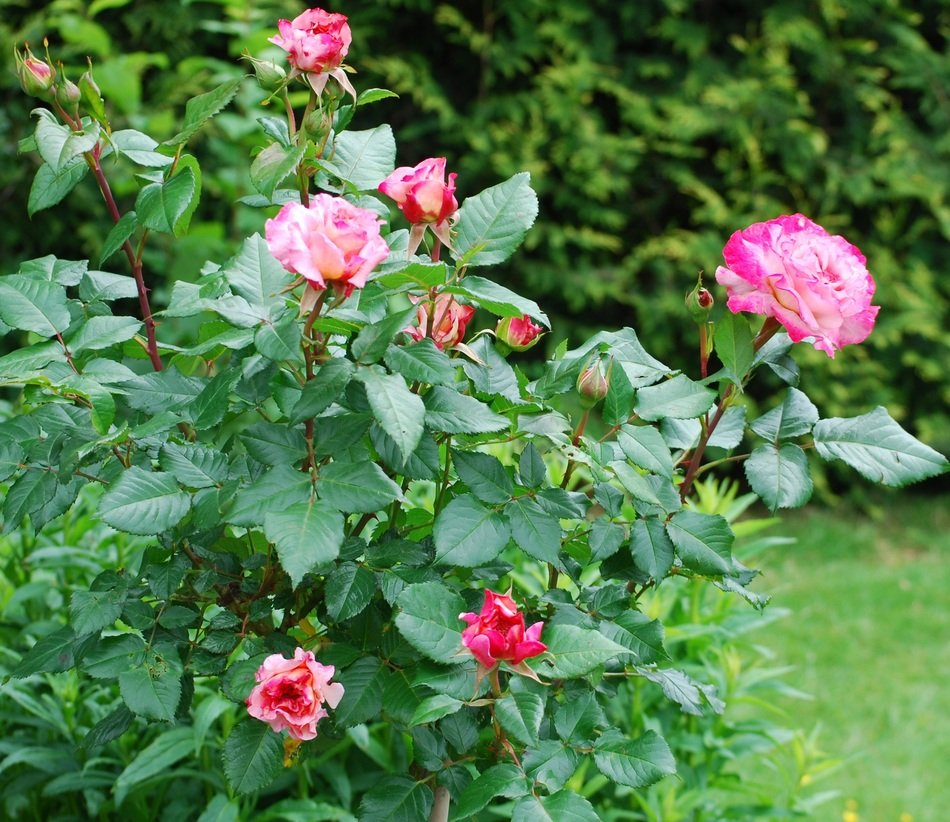 blooming rose bush in summer in the garden