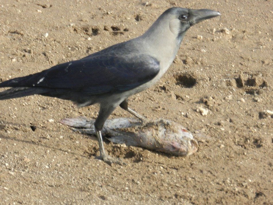 Indian crow in the steppe
