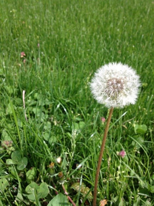 lone dandelion among green field