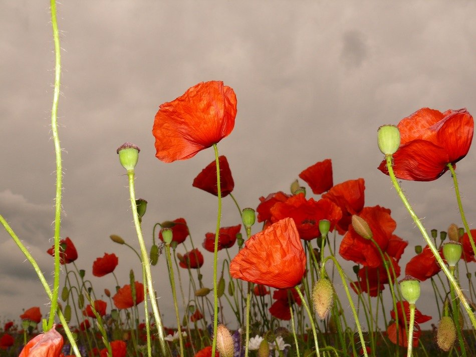 bright red poppies against a stormy sky