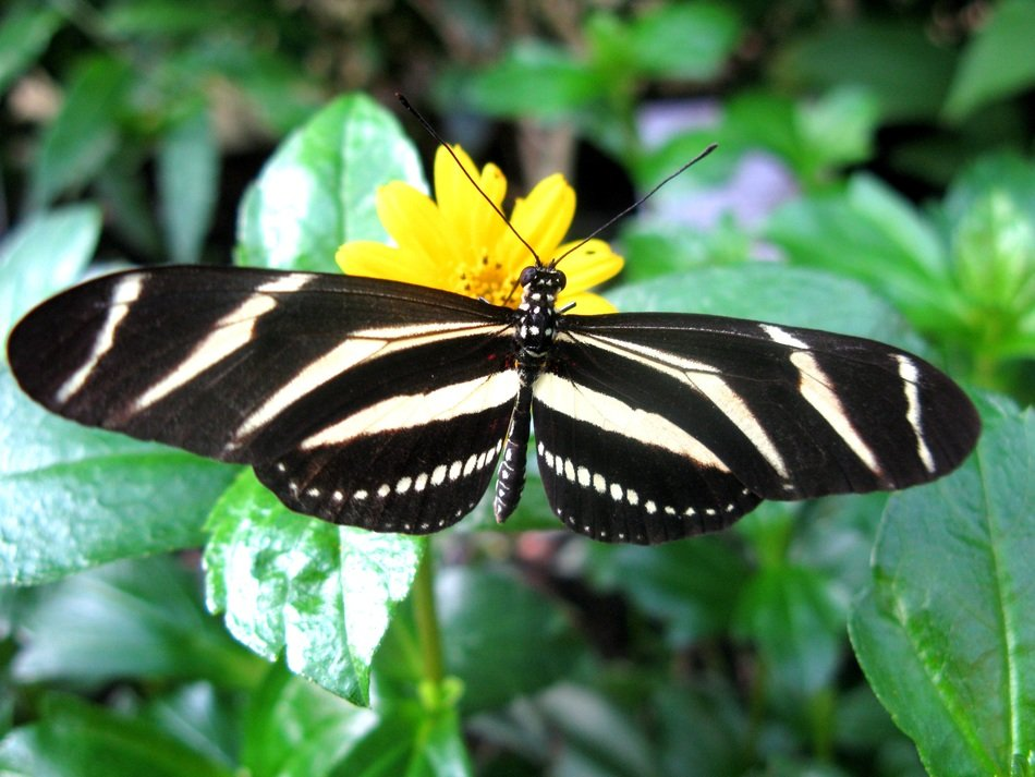 black-and-white butterfly on a yellow flower