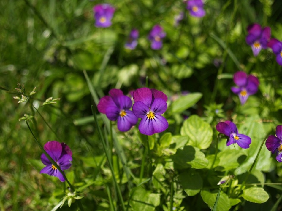closeup photo of small purple flowers in a green garden