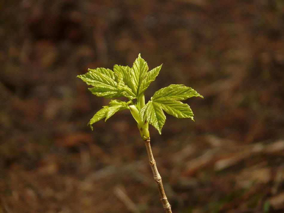 young maple plant