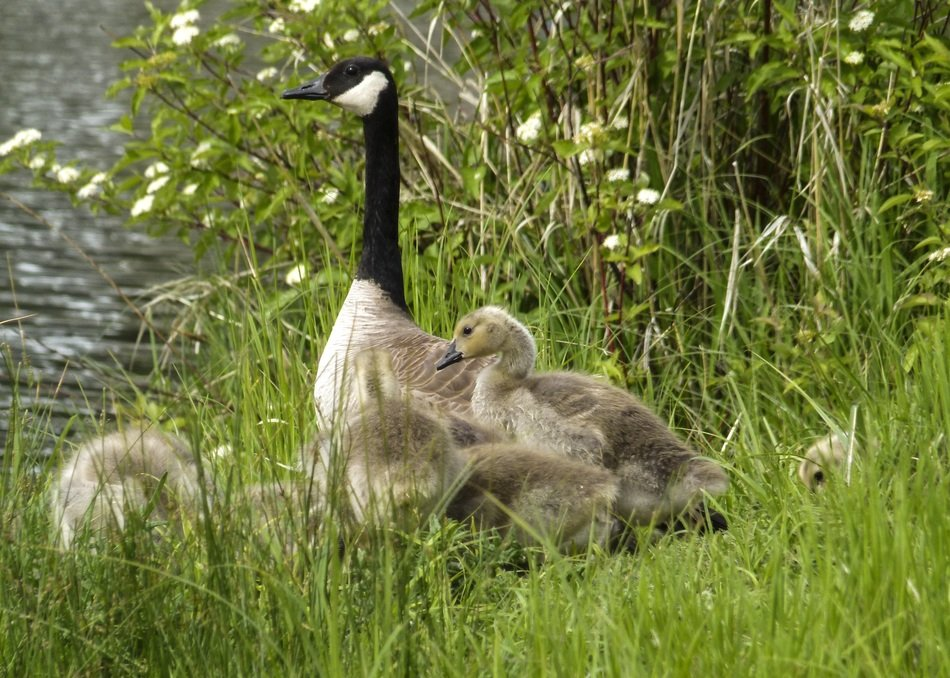Canada Goose with chicks near the pond