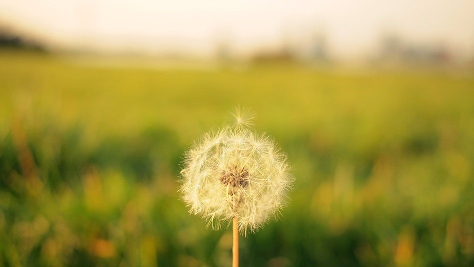 dandelion on a blurred background