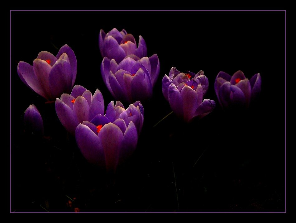 crocus against a dark background in a black frame