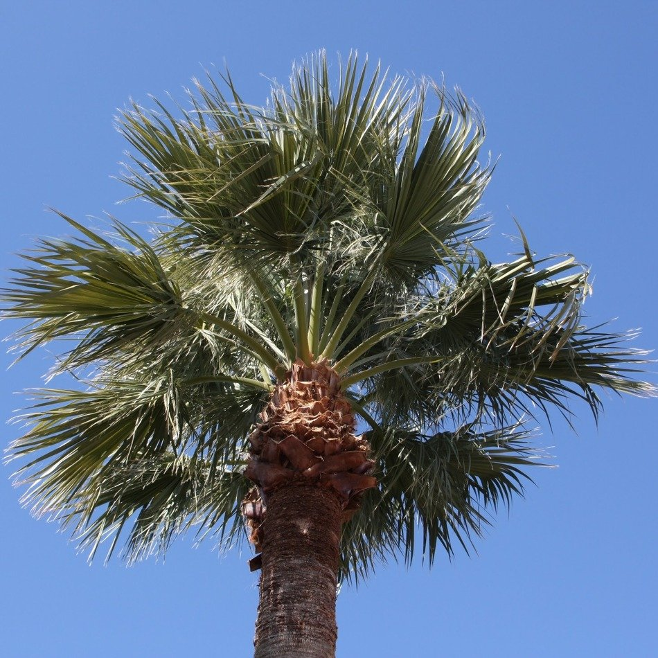 coconut palm in Arizona