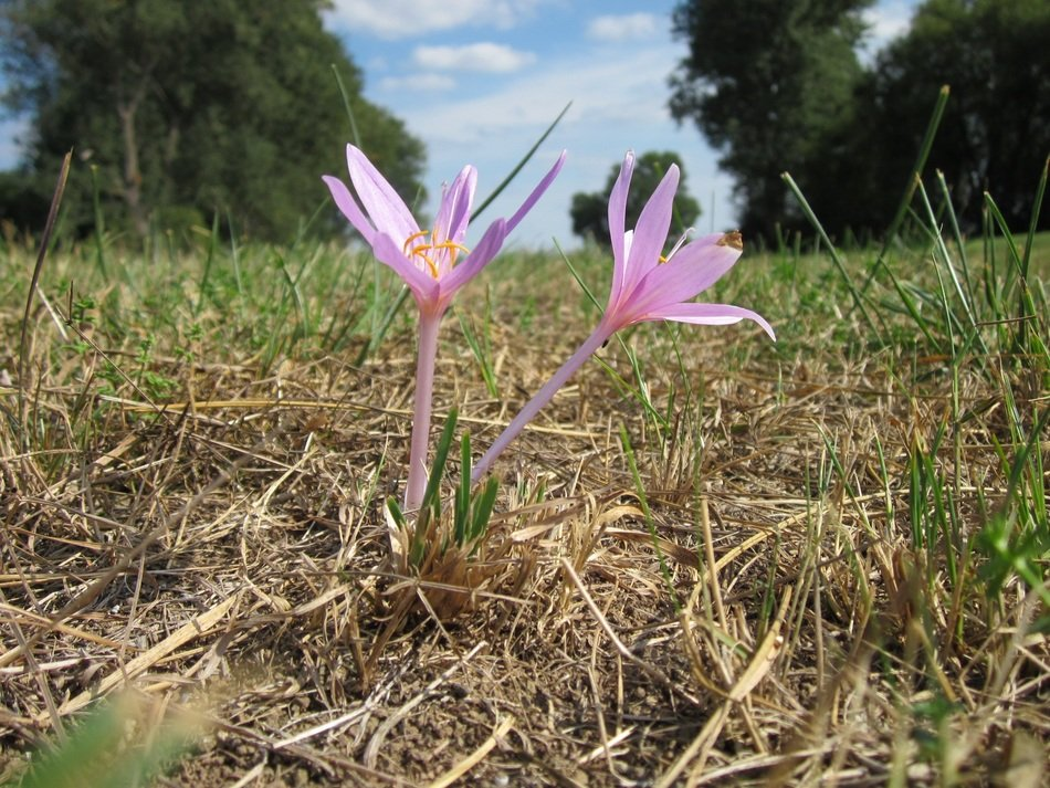 meadow saffron in the grass