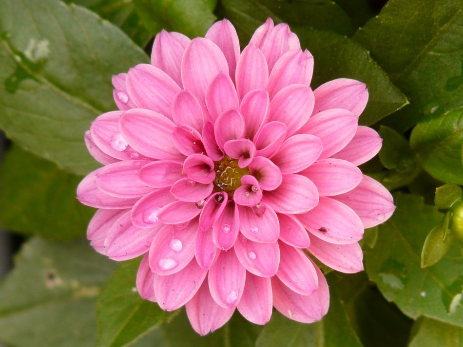 raindrops on a pink dahlia