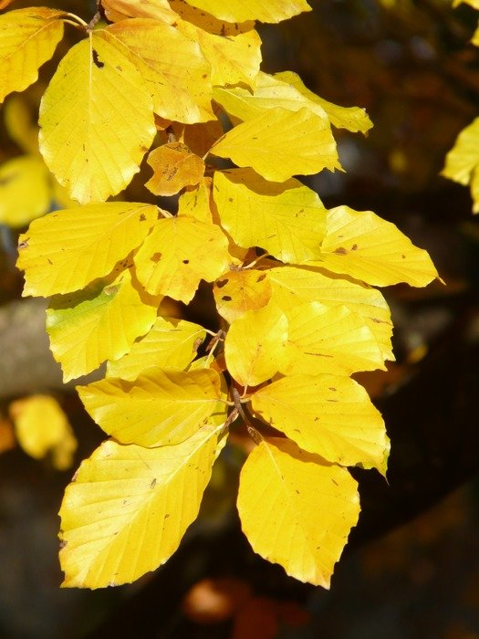 Bright golden leaves of European beech