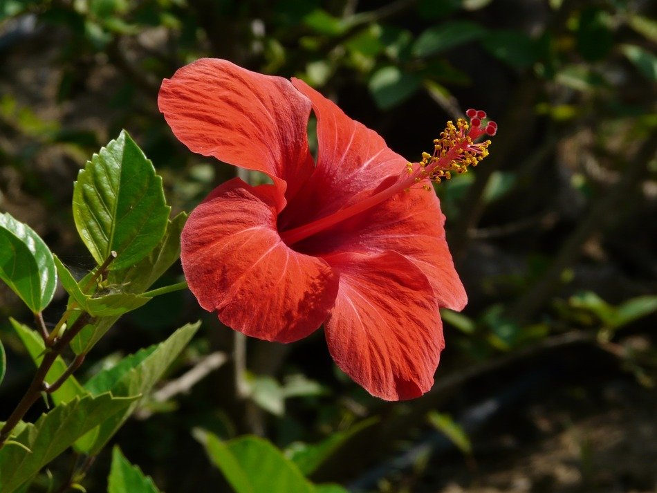 red hibiscus on the stalk