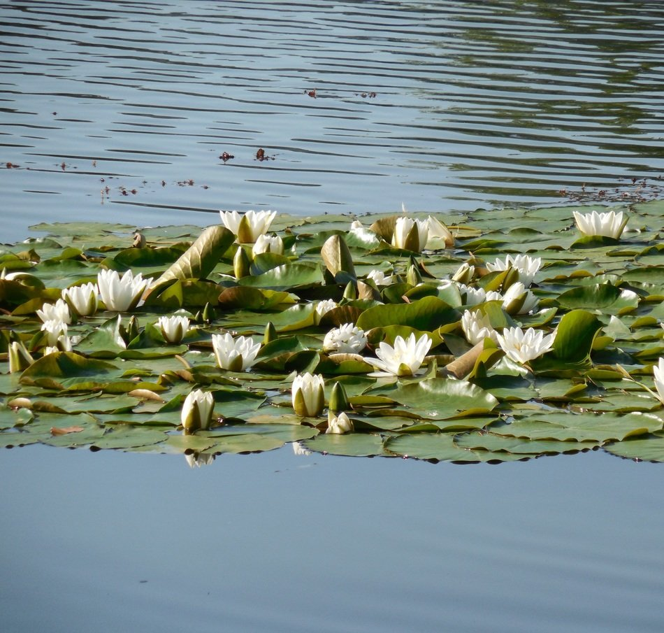 white water lilies on the lake