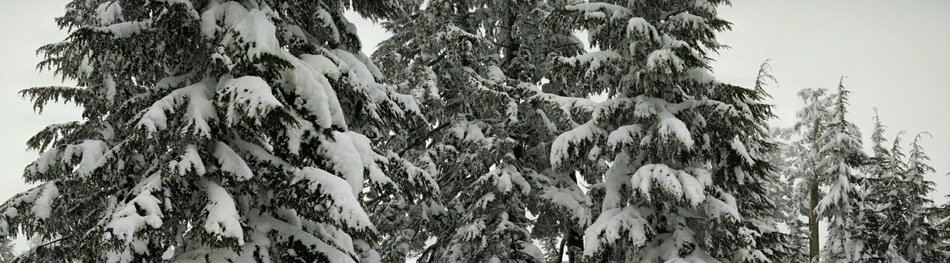 snow on trees in a coniferous forest
