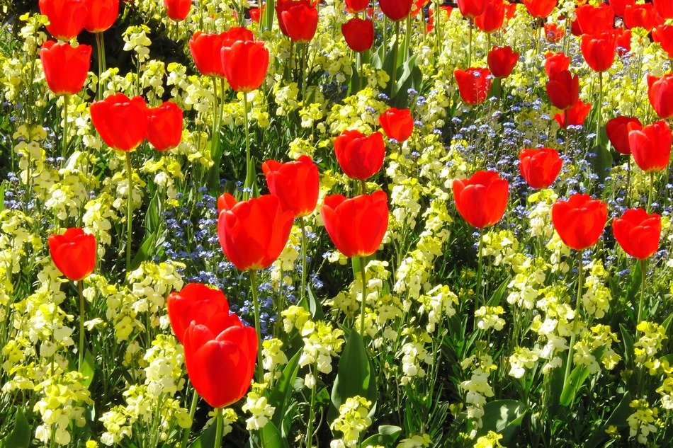 flower bed of red tulips