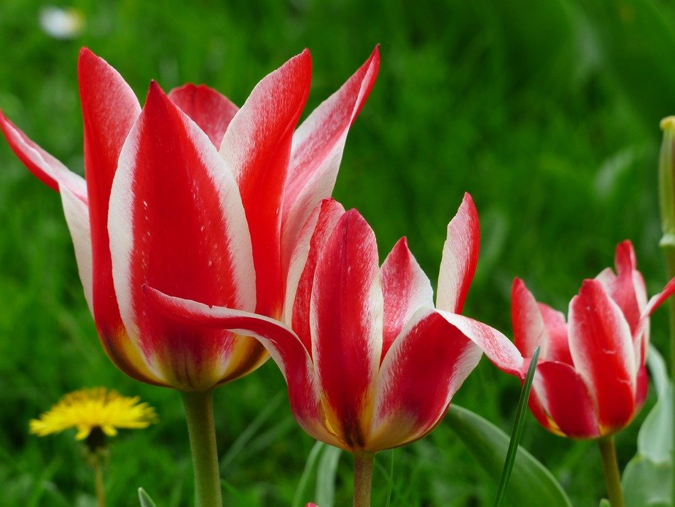 three pink white tulips on a flowerbed