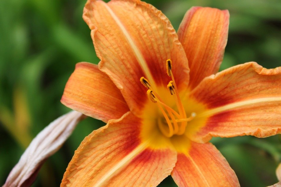 blooming orange lily with nectar