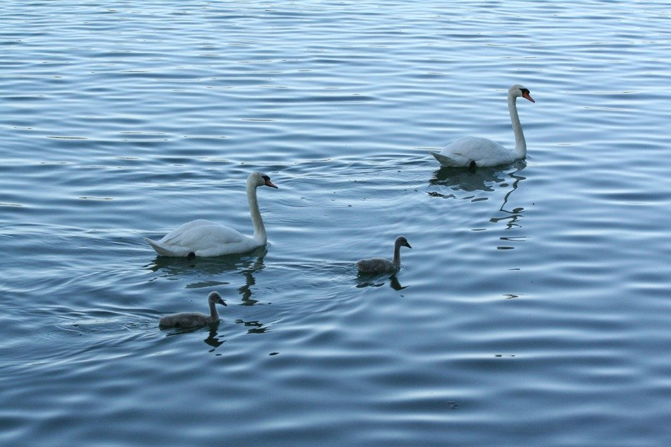 swans with chicks on a quiet lake