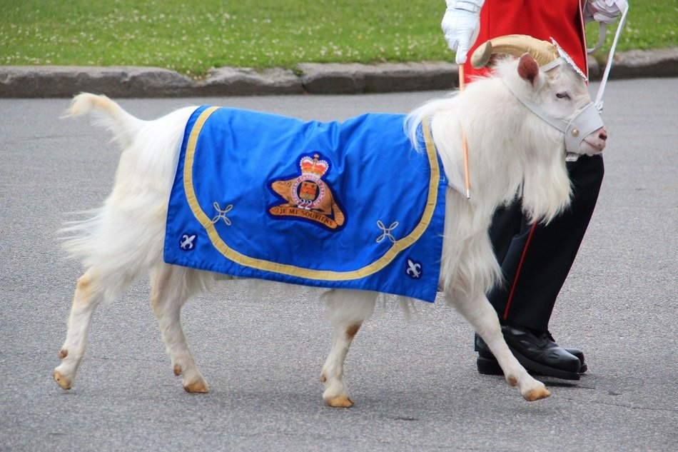 white goat with a regimental badge in Canada