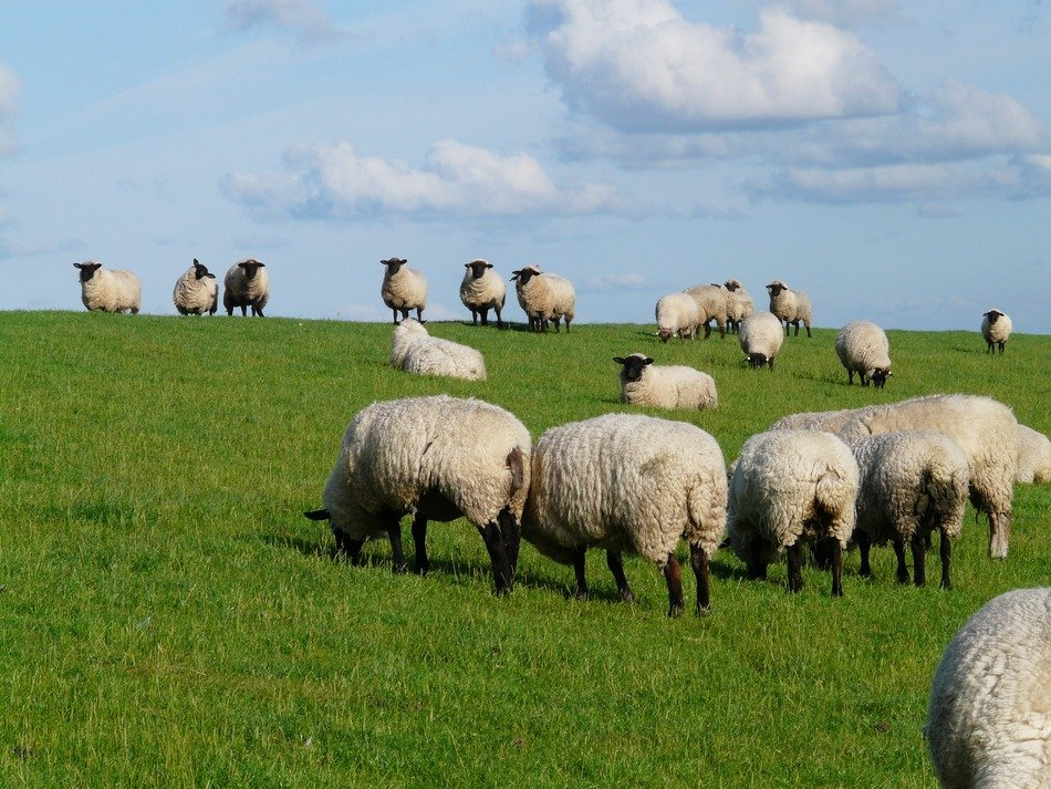 herd of sheep on a green meadow close up