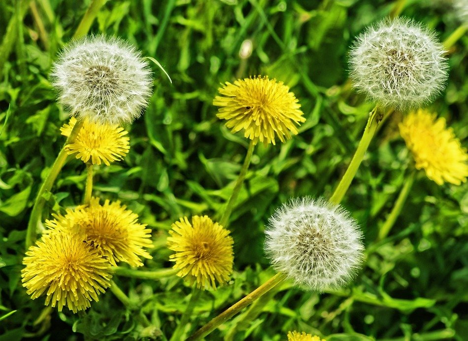 different dandelions on green grass close up