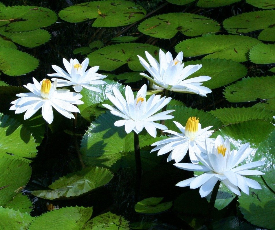 white water lilies with green leaves on a pond