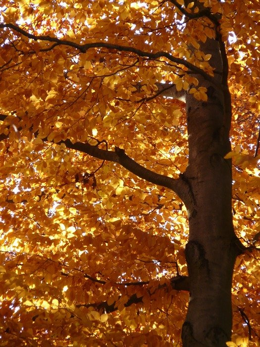 European beech in autumn