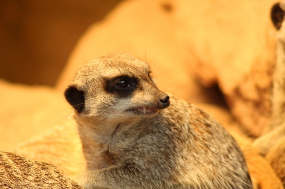 Close-up of the meerkat head with tooth