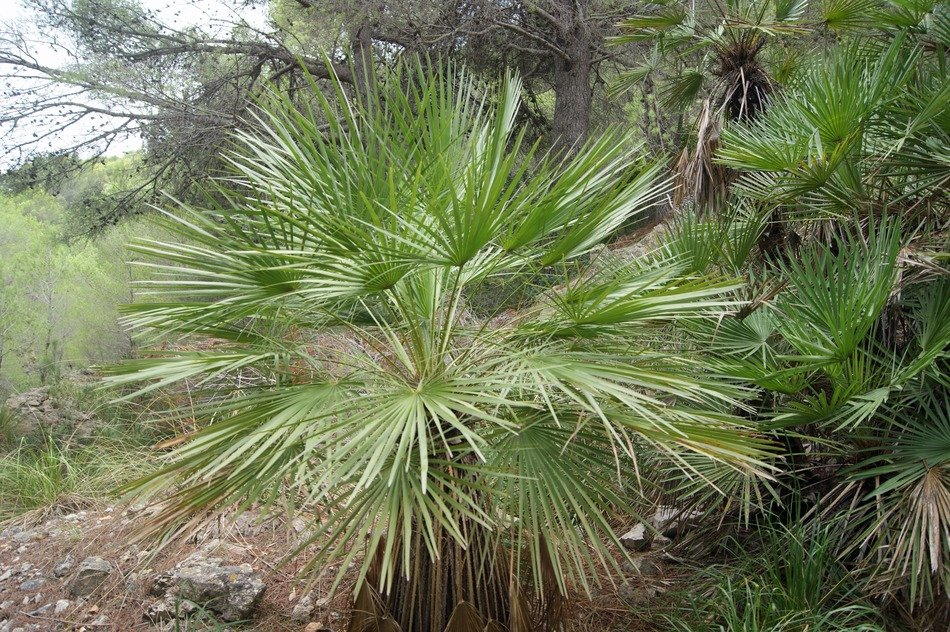 exotic green palm plant