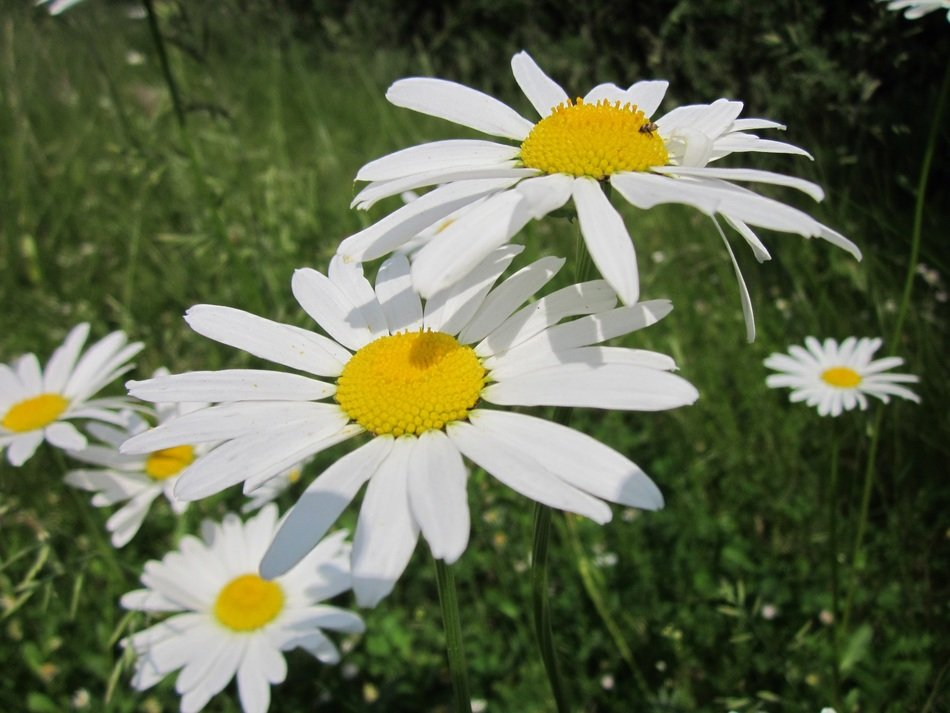 green meadow with white daisies