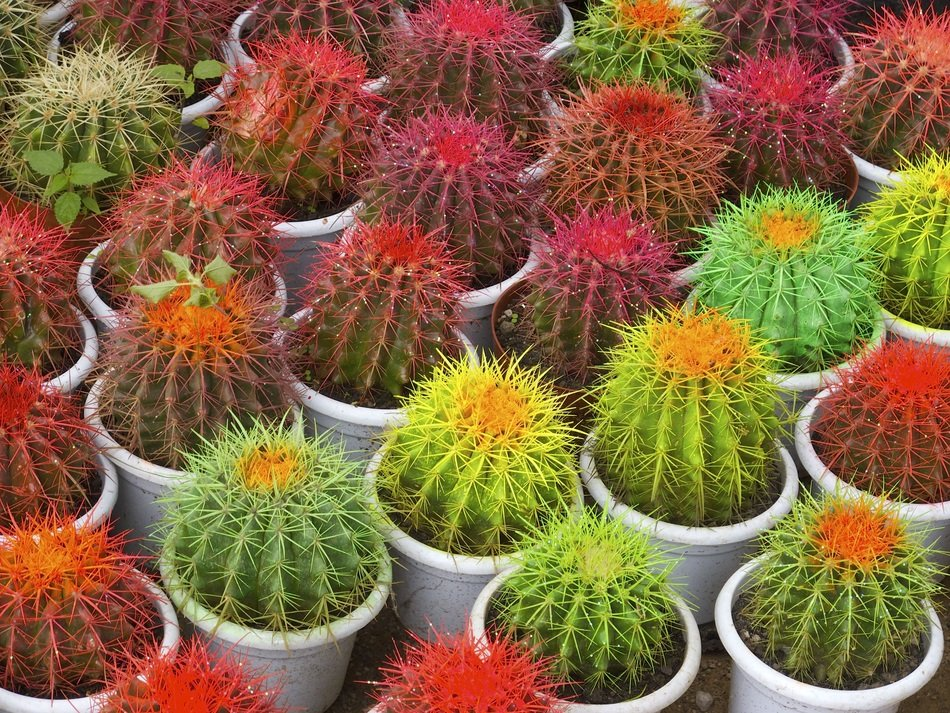 cactuses in pots with colorful needles