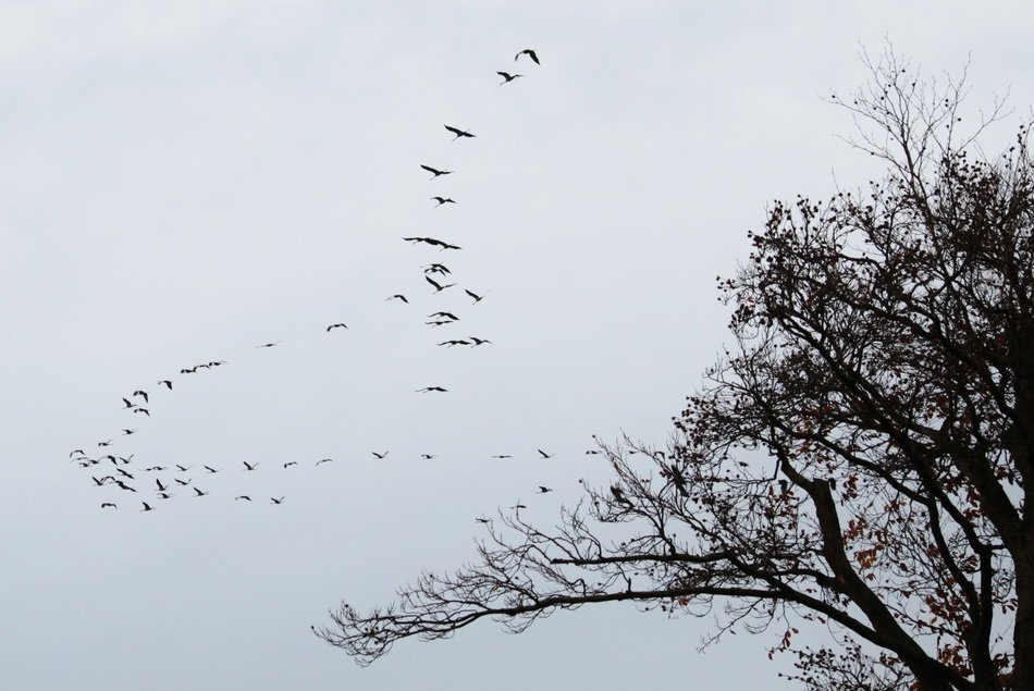 flocks of migratory birds in the sky