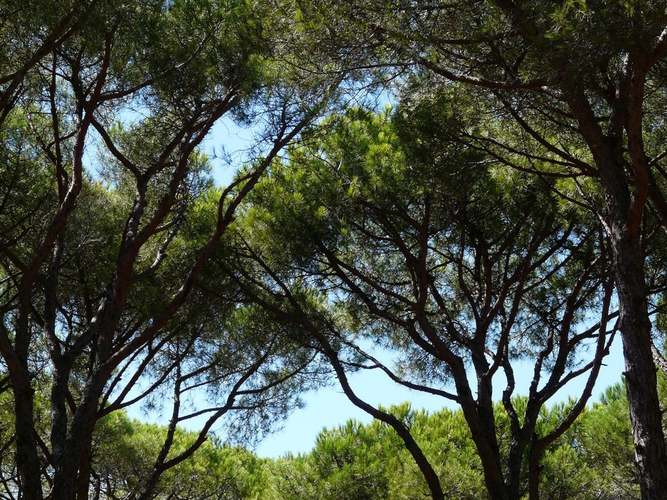 branches of a pine forest